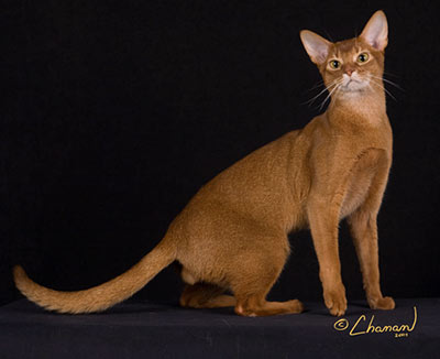 O Abyssinians All About Abyss...
