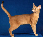GC Purssynian Jambe Finite, DM, fawn Abyssinian male and highest scoring DM cat with 58 grands to his record